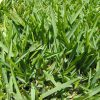 The Pros and Cons of St Augustine Grass