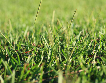 close-up shot of centipede grass showing seed head rising above the turf.