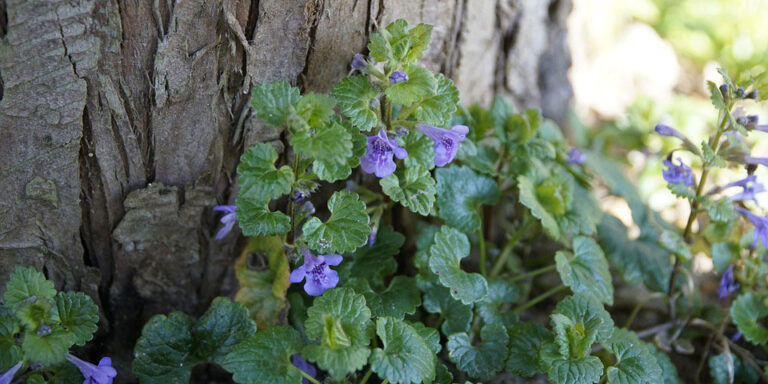 Example of ground ivy