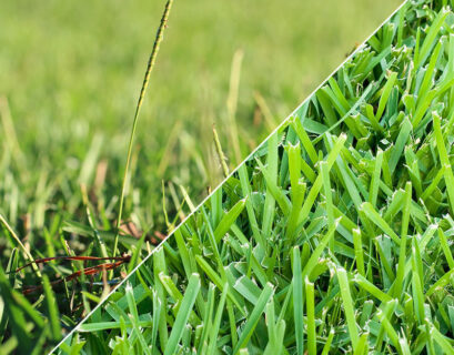 Centipede and St Augustine Grass