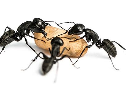 3 carpenter ants