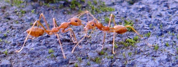 Two Fire Ants