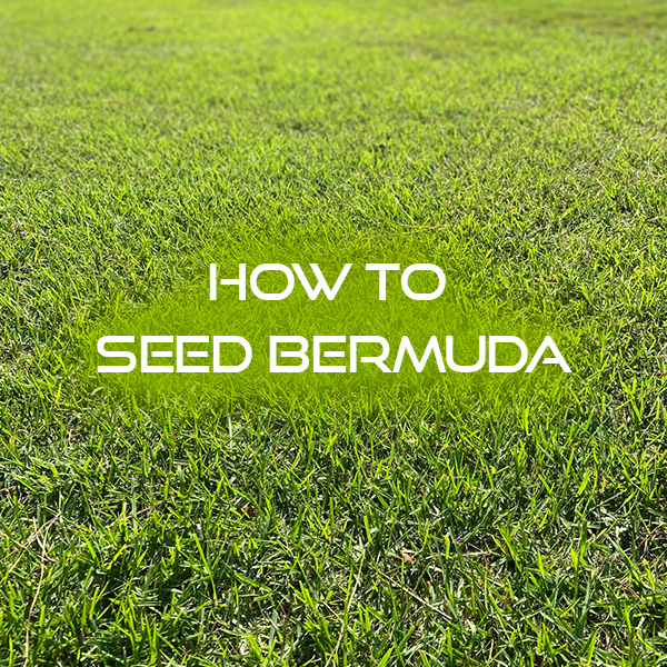 How to Seed Bermuda